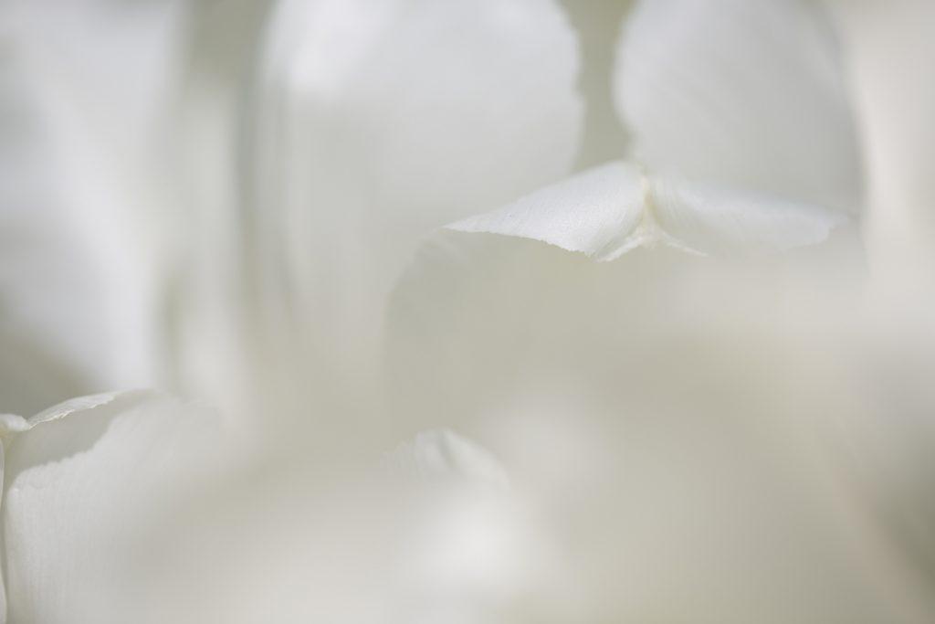 Foto Edith Gerritsma Serie Tulip Delight